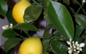 Meyer Lemons growing in the kitchen at Christmas time.