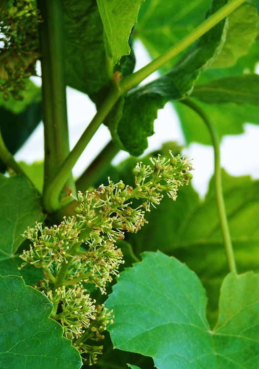 The grapevines are blooming--and they smell so lovely!  Who knew??